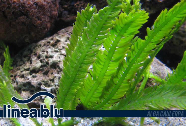 Lineablu puntata 8 novembre alga caulerpa