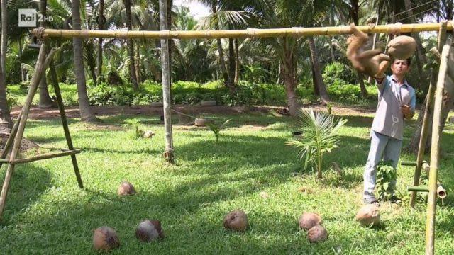 Il macaco stacca i cocchi