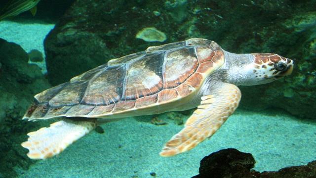 Linea Blu 13 giugno tartaruga