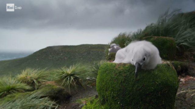Pulcino di albatros durante la tempesta